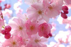 flores-ciruelo-300×225
